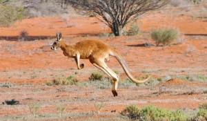 kangorou australie