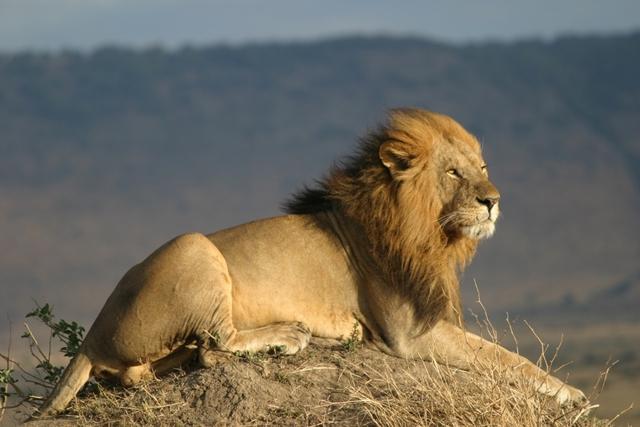 lion afrique