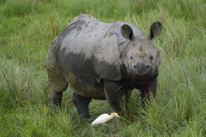 rhinoceŽros indien ˆNépal